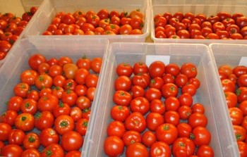 Rosewood Greenhouse Produces Delicious Winter Tomatoes for Sale